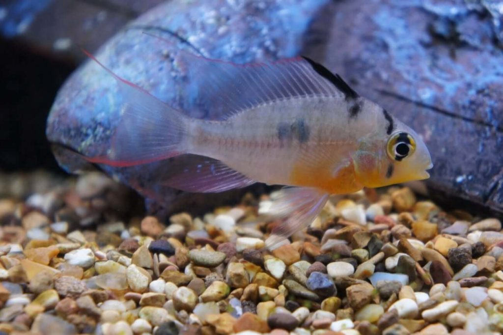 A Bolivian Ram Cichlid in a home aquarium