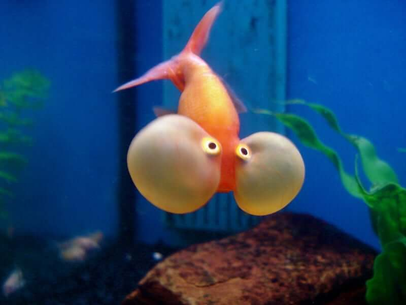 A Bubble-Eye Goldfish moving toward the camera