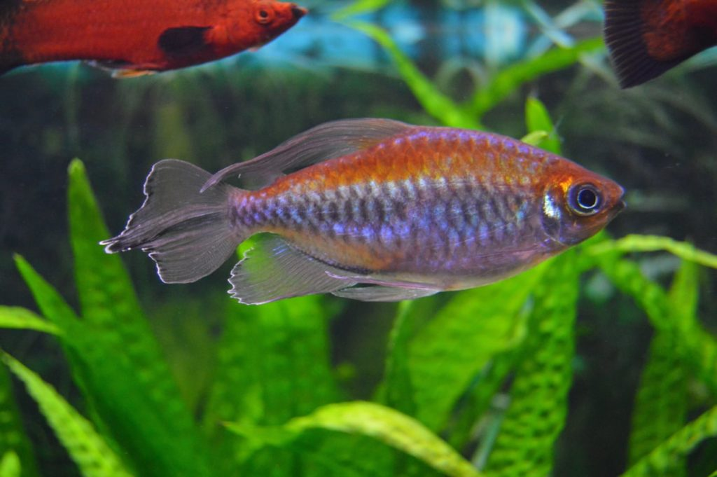 A Congo Tetra swimming in a planted tank