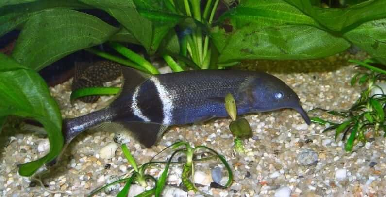 An Elephant Nose Fish hiding at the bottom of the tank