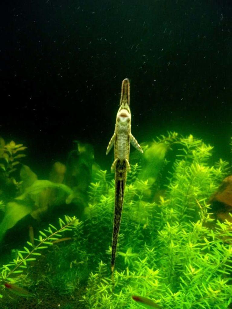 Farlowella catfish using its suckermouth to attach to the aquarium glass