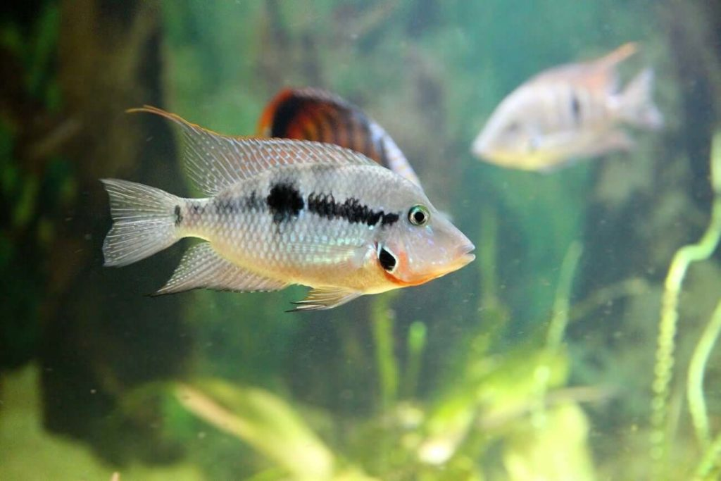 A swimming firemouth cichlid