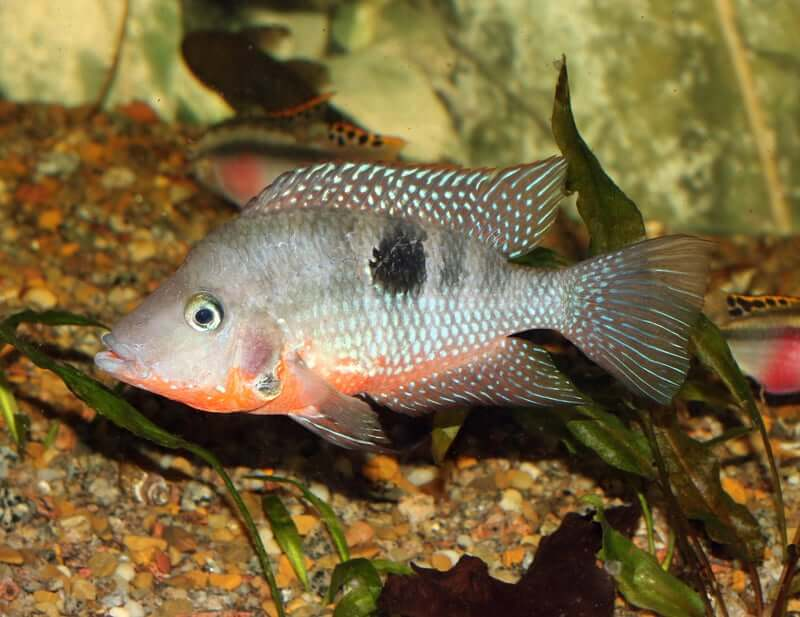 Side profile of a firemouth cichlid swimming near the substrate