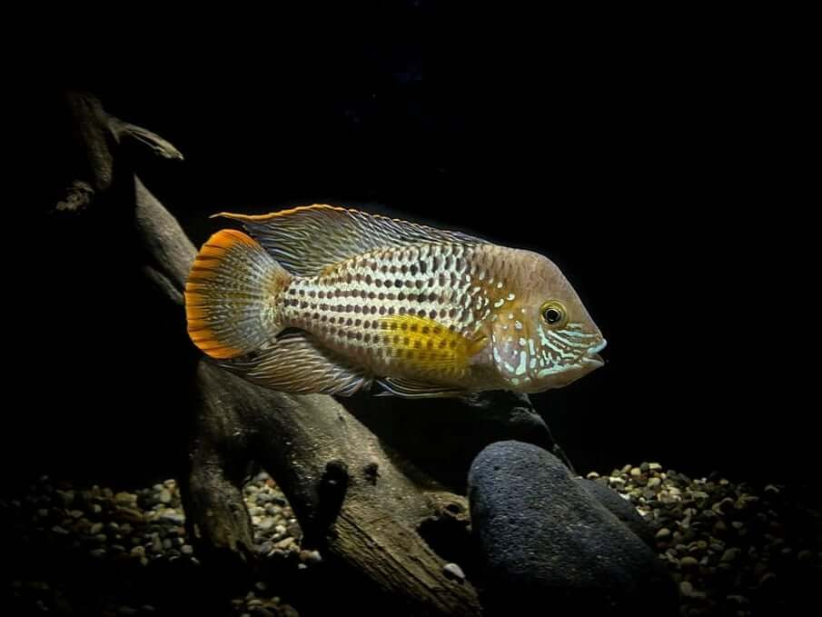 Green Terror Cichlid in a low-lit tank