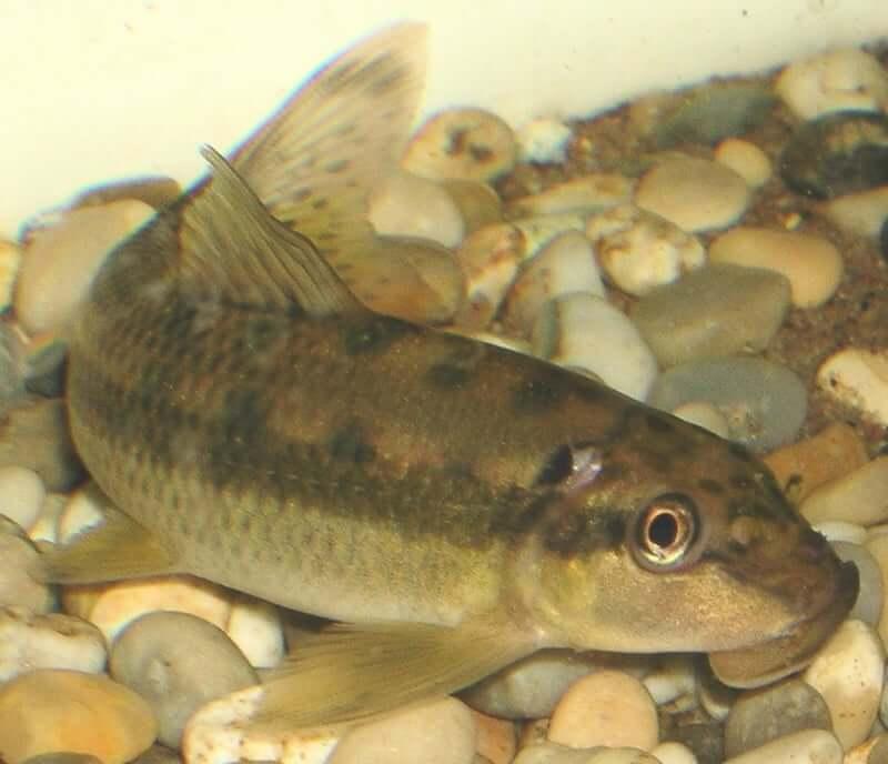 Gyrinocheilus aymonieri resting on the substrate