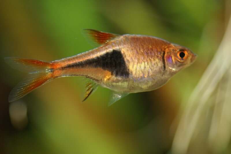 The side profile and colors of a Harlequin Rasbora