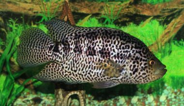 A Jaguar Cichlid swimming in its tank