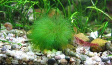 Betta fish plant on the bottom of an aquarium