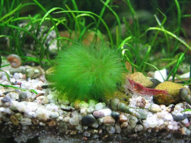 A Marimo Moss ball sitting on the substrate of an aquarium