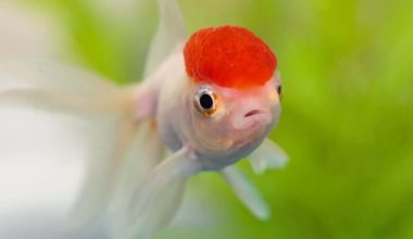 Oranda Goldfish type
