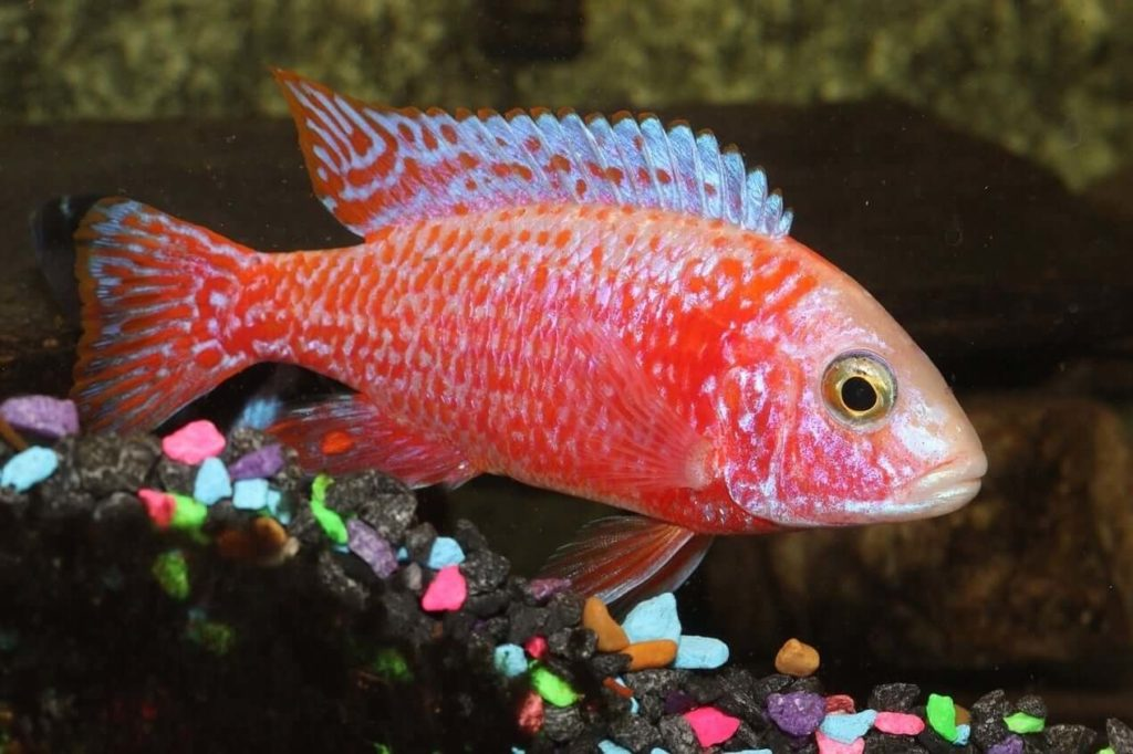 A colorful peacock cichlid swimming