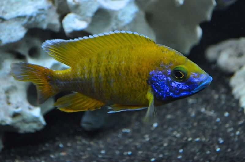 A peacock cichlid moving through the aquarium tank