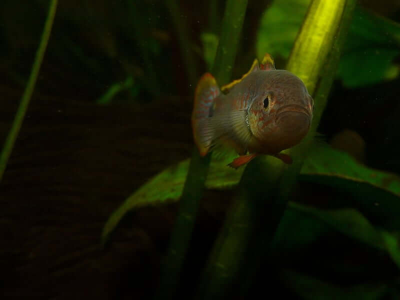 One Peacock Gudgeon swimming toward the camera
