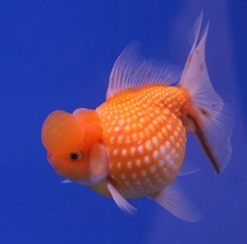 A rare type of Pearlscale Goldfish looking for food