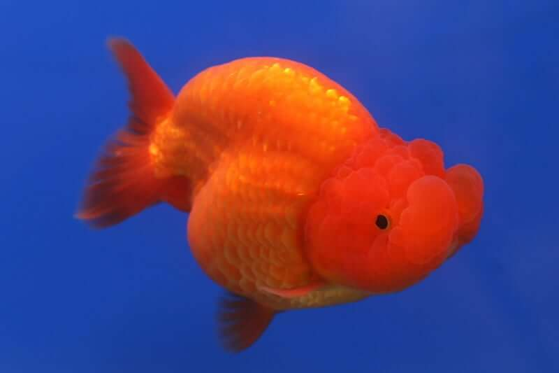 An orange Ranchu Goldfish