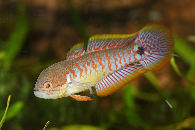Tateurndina ocellicauda in a planted aquarium tank