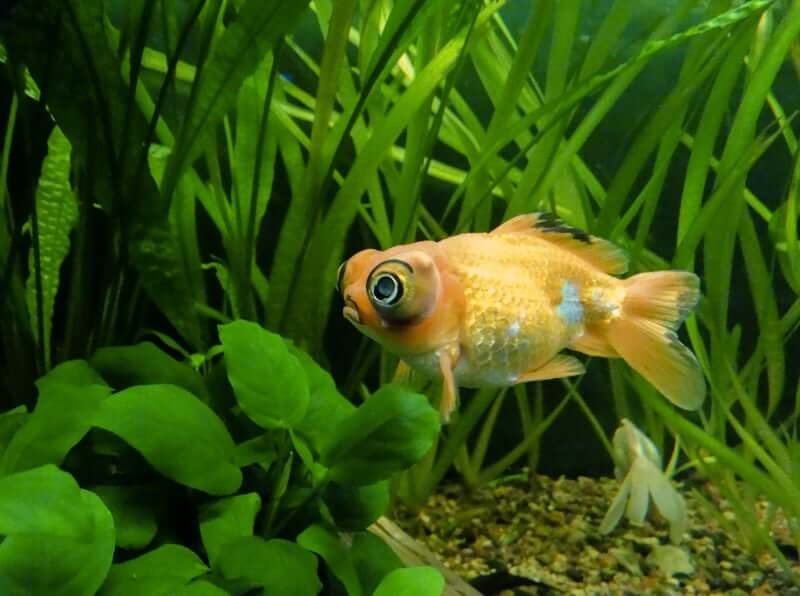 The Telescope Eye goldfish breed swimming in a planted tank