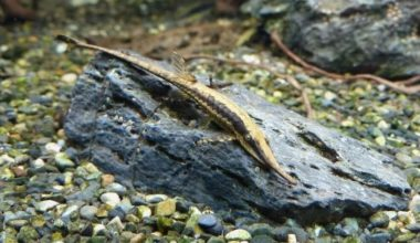 Twig catfish on a piece of wood