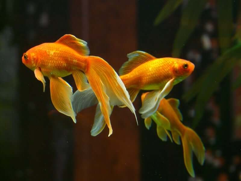 Three Veiltail goldfish interacting in their aquarium