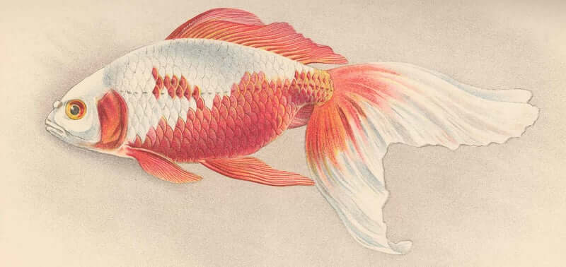 Illustration of a Watonai Goldfish breed