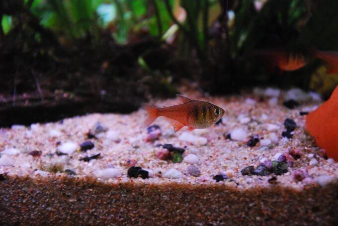 Two Serpae Tetras swimming quickly around the aquarium