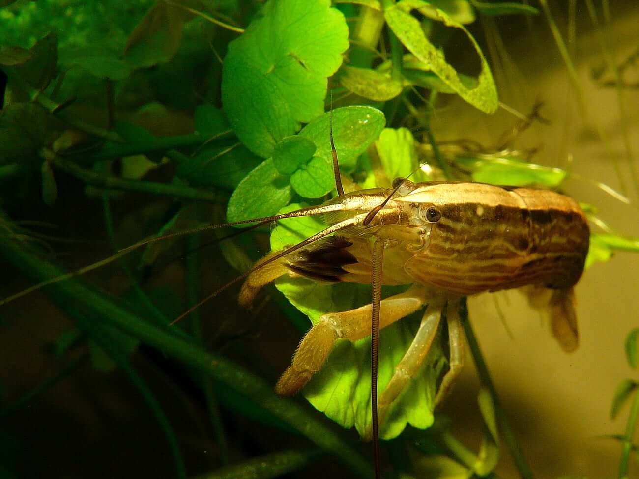 One Bamboo Shrimp sitting on a plant leaf