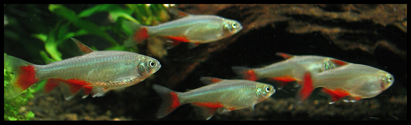 A group of Bloodfin Tetras swimming together