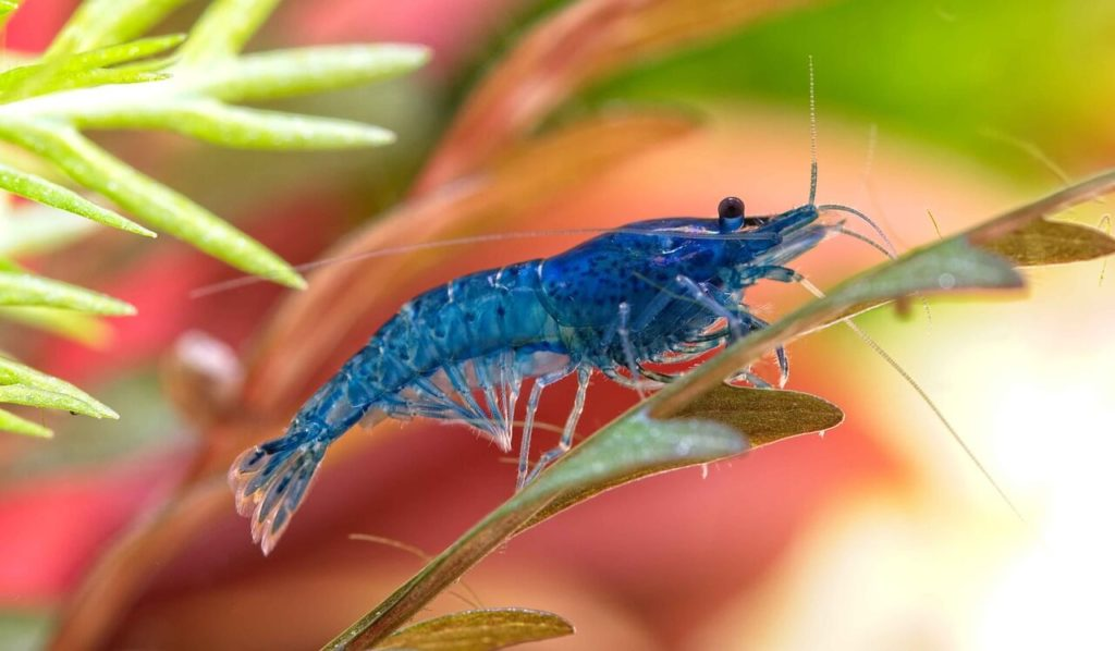 A Blue Velvet Shrimp sitting on a plant leaf