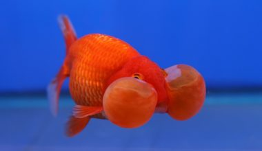 A Bubble Eye Goldfish swimming in a minimal aquarium