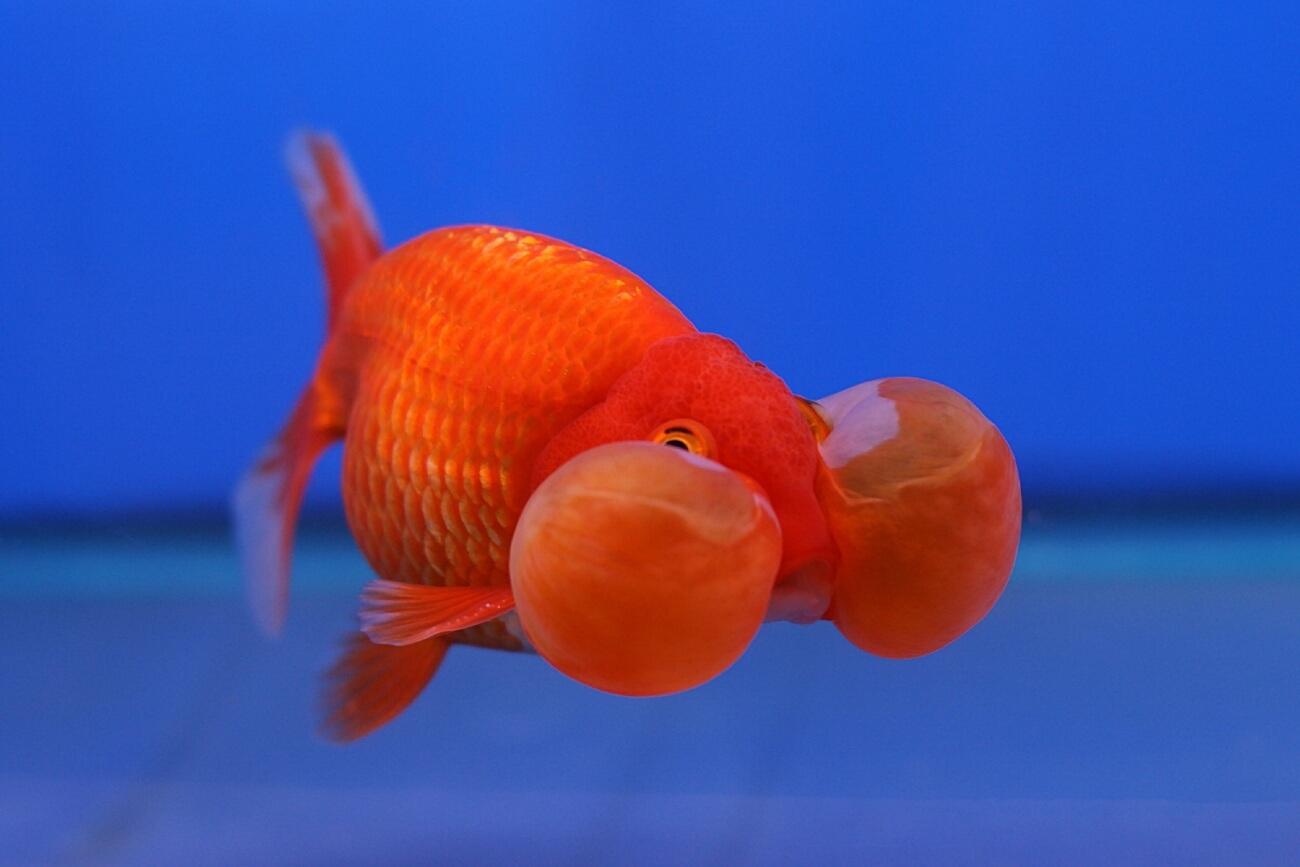 A Bubble Eye Goldfish swimming in a minimal aquarium