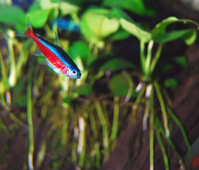 One Cardinal Tetra swimming in a freshwater aquarium