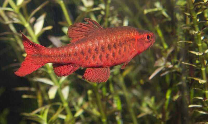 A Cherry Barb swimming in a planted tank