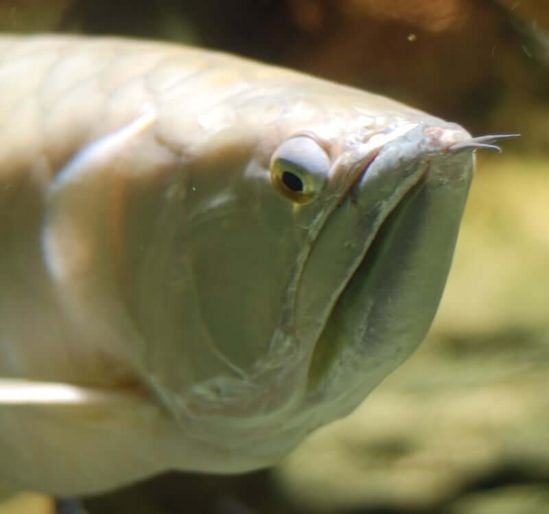 A feisty looking Silver Arowana up close