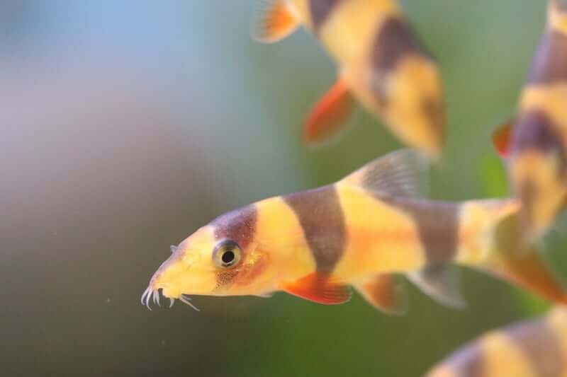 A group of Clown Loaches