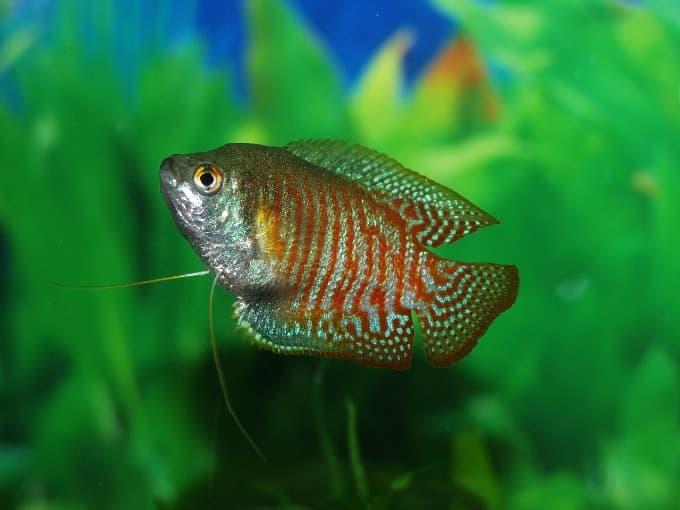 A colorful freshwater Gourami fish swimming in the aquarium