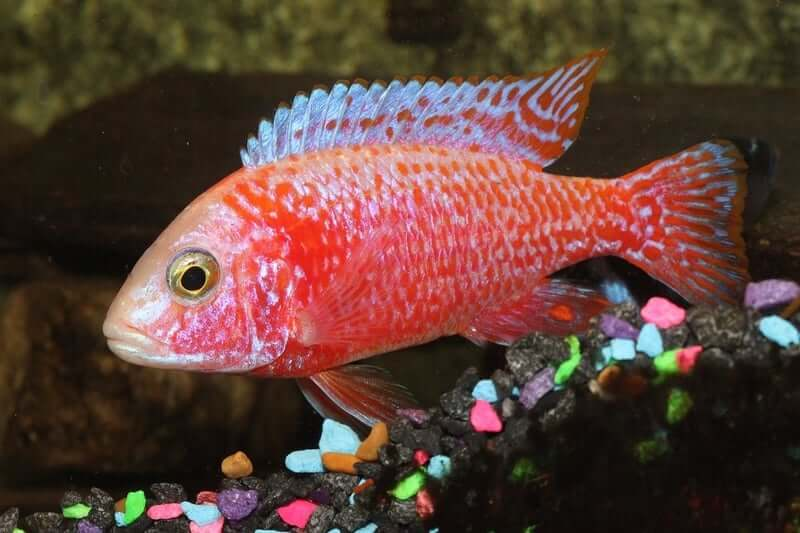 A colorful Peacock Cichlid