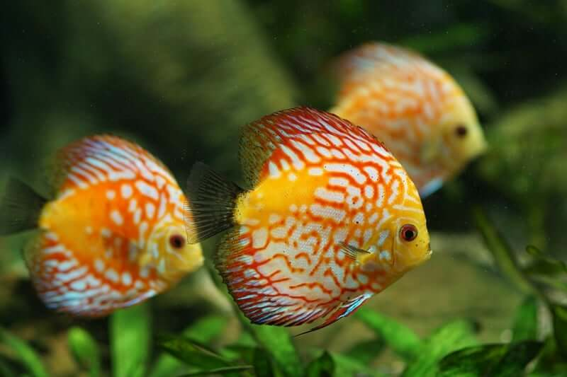Three Discus Fish swimming together