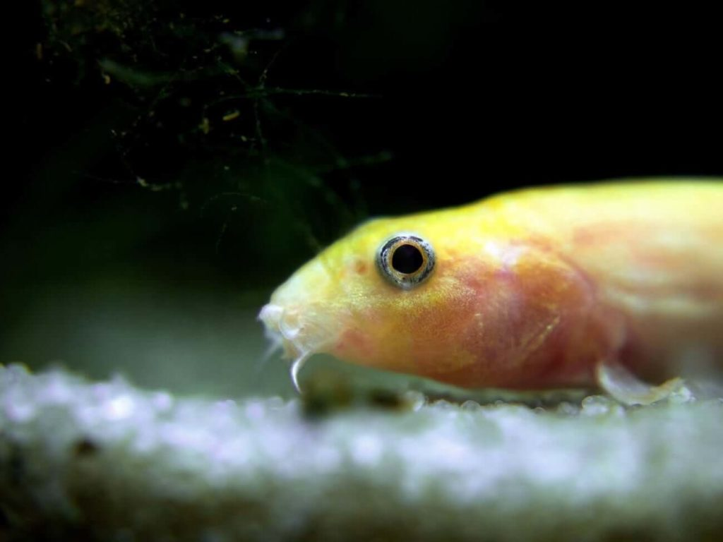A Dojo Loach resting on the substrate