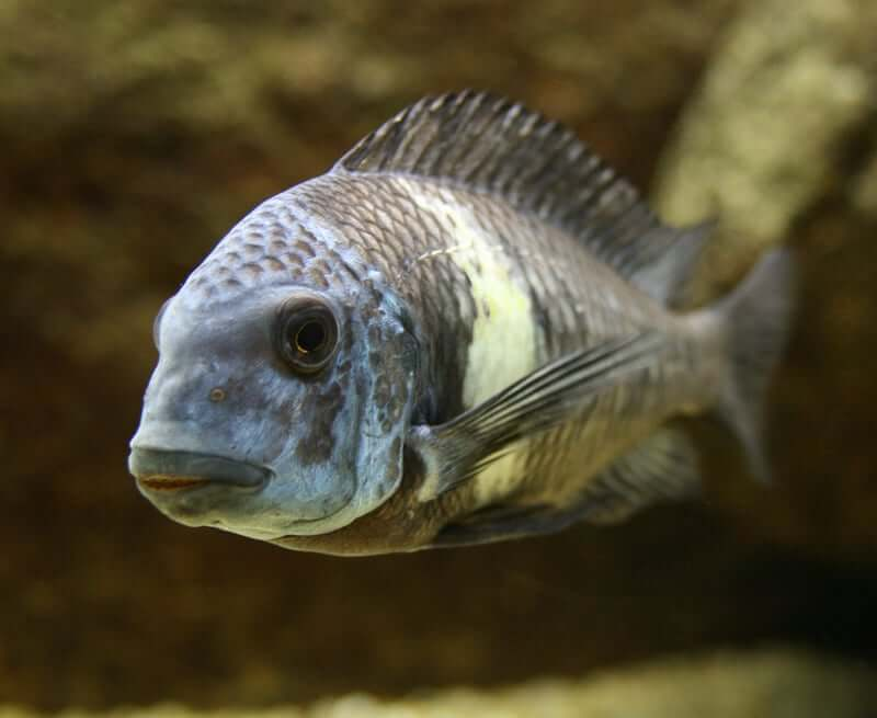 A Duboisi Cichlid swimming toward the camera
