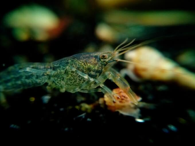 A Dwarf Crayfish hiding and eating food