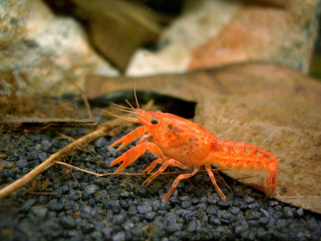Mexican Dwarf Crayfish walking on the aquarium substrate