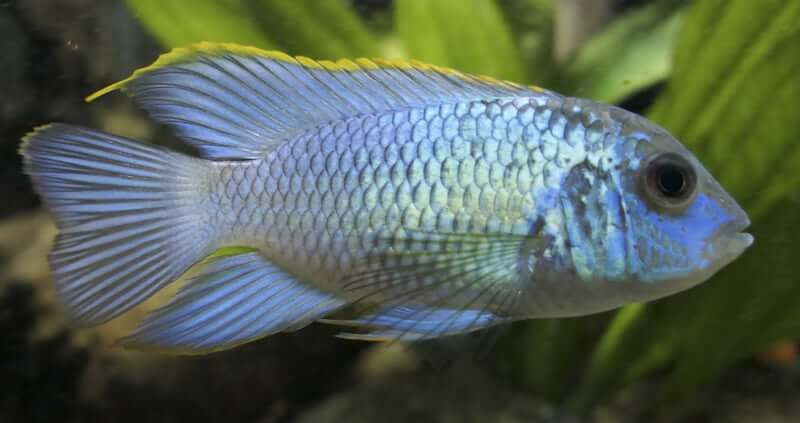 A bright Electric Blue Acara in a planted freshwater tank