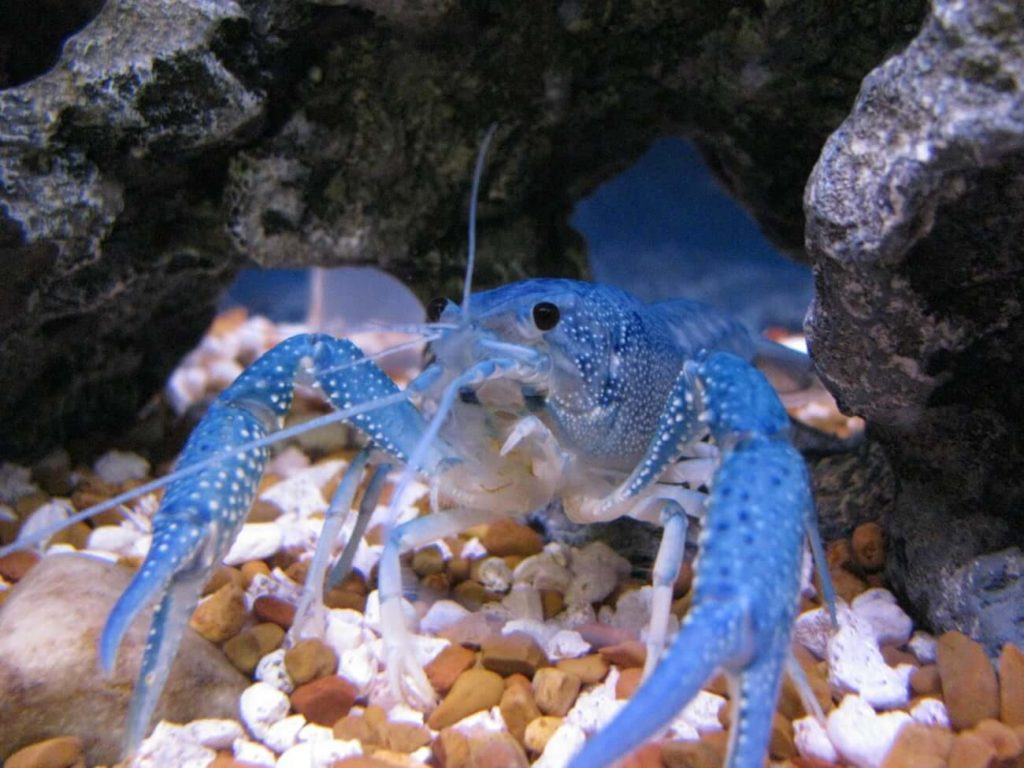An Electric Blue Crayfish looking directly at the camera