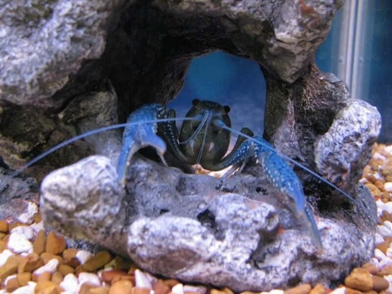 An Electric Blue Crayfish hiding in it's cave