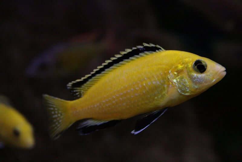 Electric Yellow Lab fish