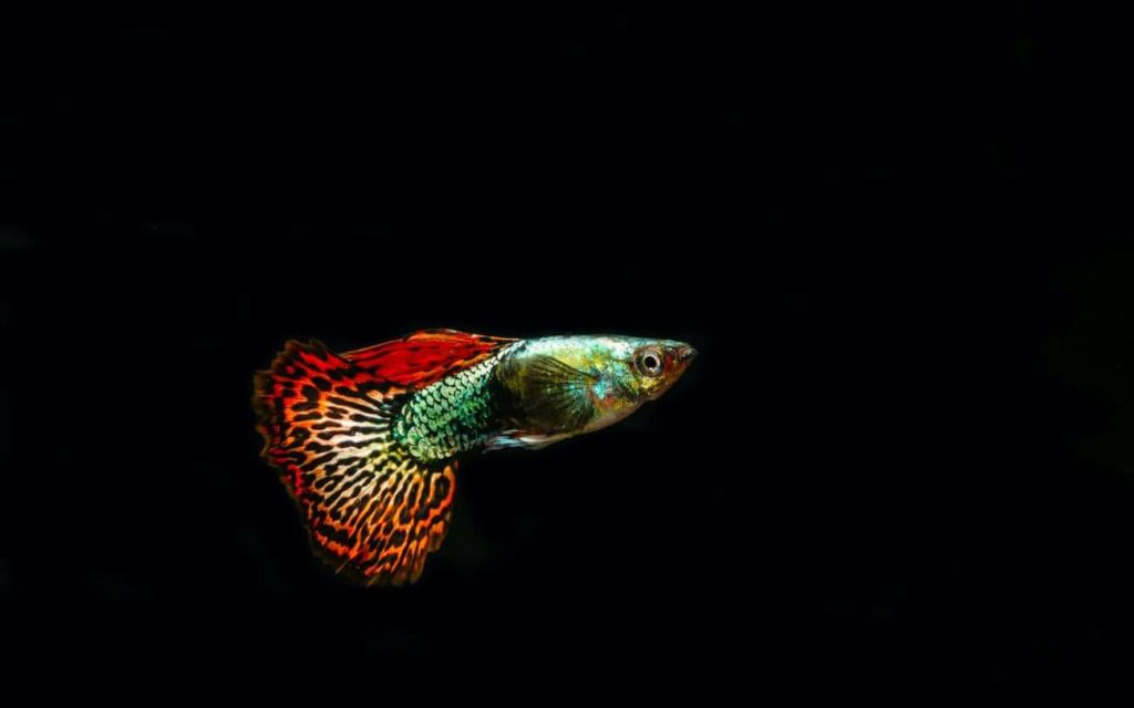 A colorful freshwater fish called the Fancy Guppy swimming alone