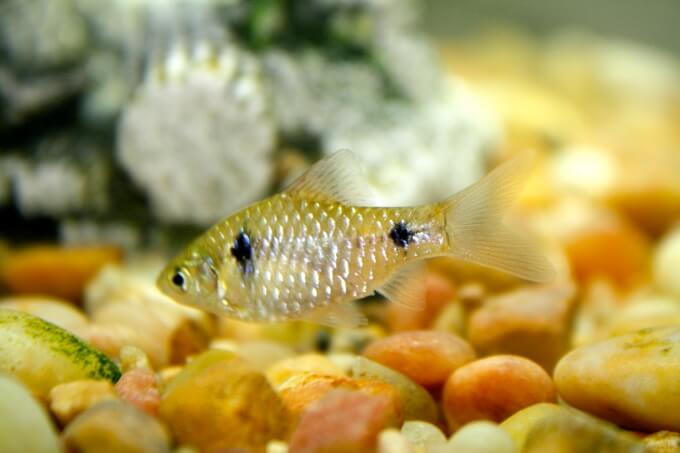 A female Odessa Barb skimming the substrate