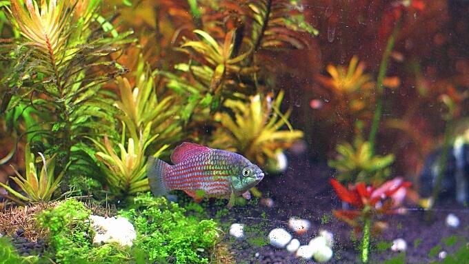 An algae-eating Flagfish swimming through vegetation