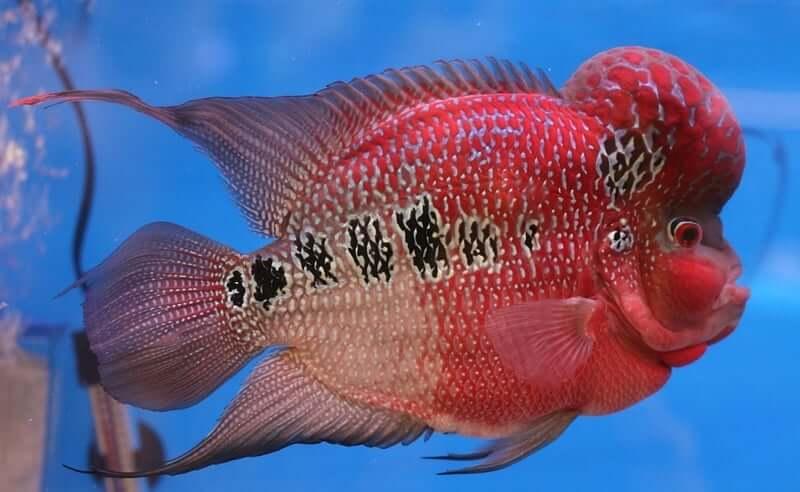 A colorful Flowerhorn Cichlid fish