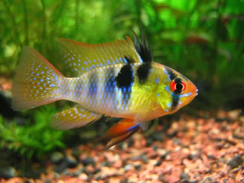 A bright German Blue Ram with yellow sides